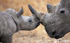 Rhino mother & calf