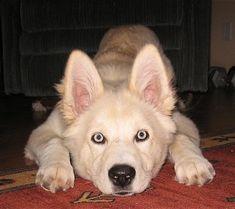 Goberian (Golden Retriever / Siberian Husky mix)
