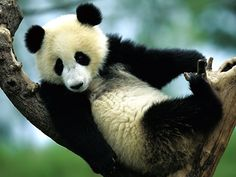 Google Image Result for http://wallpapers.windowsace.com/pics/a/n/animal-wallpaper-gt-panda-cute-bears-photos-a-e-ibackgroundz.com.jpg