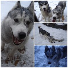 Husky Facts 10, Siberian Huskies snow games
