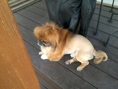 Bear, the pekingese, with his lion cut. <3 So Adorbs. Wish my pekingese could have met him.. Next time, hopefully.
