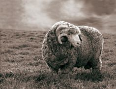 Merino Sheep - color inspiration for the Caress Collection by Shaw