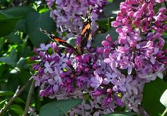 Lilac Butterfly by Kristie Bonnewell