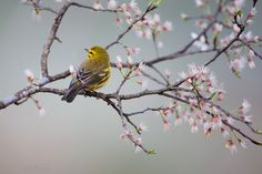 500px / Prairie Warbler on Apple Tree by Matthew Studebaker