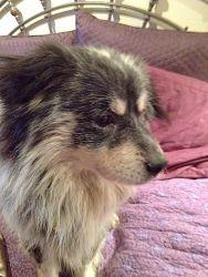 Dog Ready For Adoption Corgi Shetland Sheepdog Sheltie Mixed | Dog ...