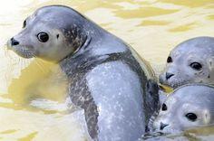 Young seals.