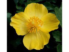 Stylophorum diphyllum (Celandine poppy) z. 4-8