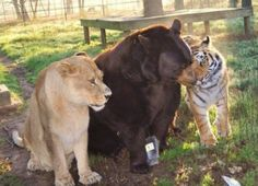First owned as cubs by a drug dealer who neglected and abused them, a lion, tiger, and bear were finally rescued. The bear's harness, which had been allowed to grow into its skin, was surgically removed.  When the staff of the animal sanctuary tried to separate them, though, the animals were uncooperative and behaved poorly.   But reunited, the three calmed back down. Now the three spend their days playing, cuddling, and eating together. And there are no plans to separate these lifelong friends.