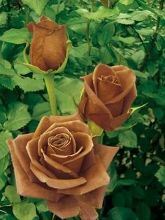chocolat roses: Terra Nostra. (I verified that this is really a variety of rose).