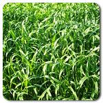 Organic BMR Sorghum- Sudangrass F1 Hybrid