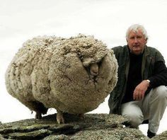 Shrek the NZ sheep avoided shearing for 6 years by hiding in caves ... he had enough fleece for 20 suits when he was finally sheared. He became a national celebrity.