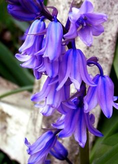 ~flowersgardenlove: Blue Bells Flowers Garden Amor