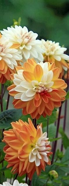 flowersgardenlove:  Orange Cream Dahlias Beautiful