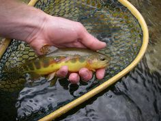 Native Trout Fly Fishing: California Golden Trout