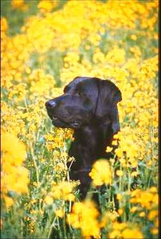 black lab in a field of yellow