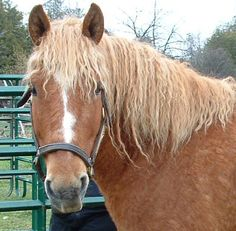 Bashkir curly-These horses with the curly coat are a rare and beautiful breed, coming in different conformation types, but generally with a wonderful disposition that usually makes them great beginner horses. They are not just Curly Horses, but the curly coat seems to be also hypoallergenic. People who suffer from horse allergies often react very little, if at all, to the Curly Horse.