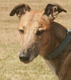 #OREGON ~ Lazer is a Greyound Brindle Born: 05-2009 who is Cat Tolerant & in need of a loving #adopter. GREYHOUND PET ADOPTION NW #Portland OR 97228 Ph 800-767-5139