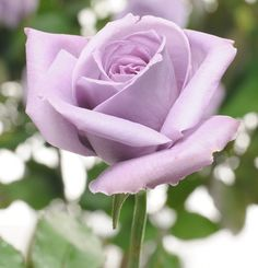 'Applause' the world's first true blue (silver purple really) rose