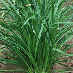 Herb, Flowering Chinese Leek   Seed Savers Exchange