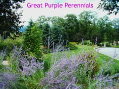 http://www.landscape-design-advice.com/purple-perennials.html Here are some of the most beautiful purple perennials to use in your garden.