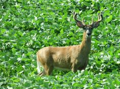 A white-tailed buck displays its still-in-velvet antlers here in the Driftless region.
