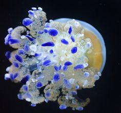 *Jellyfish