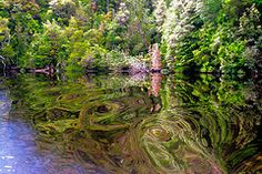 Reflections on Gordon River in Tasmania. Photo courtesy of Dr. Martin Oretsky.