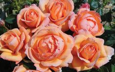 Rose of the Year 2014, a peach-colored bloom called Lady Marmalade