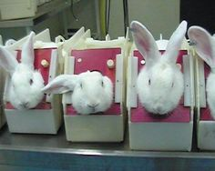 Rabbits in stocks ready for cosmetic testing  Everyone needs to read this.