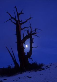Bristlecone and hazy moon and snow, White Mountains, California - ©2008 Bruce Muirhead