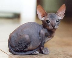 Sphynx... wrinkles and peach fuzz never looked so good!
