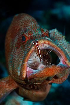 #grouper cleaning #shrimp