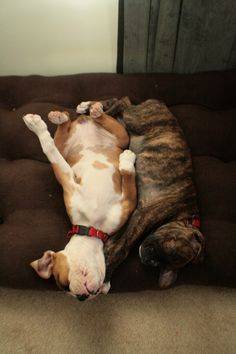 exhausted boxer puppies, sleeping boxer puppies