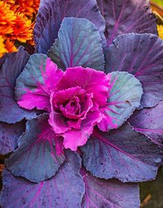 Ornamental kale stars in many fall gardens and containers. Click for more fall favorites!