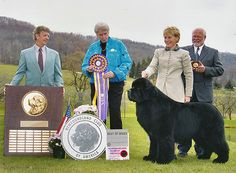 Josh's accomplishments include:        Westminster BIS 2004      BOB National Specialty 2001, 2002, 2003      Winner of 45 All Breed Best in Shows      Winner of 130 Working Group Firsts      Four Best In Shows at the Connecticut River Working Group Shows      Top Winning Newf in USA History