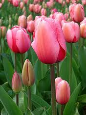 flower natur, flower pictures, pretti tulip, water gardens, crocheted flowers, flower beds, pink tulip, beauti flower