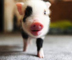 I LOVE TEACUP PIGS