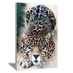 Jaguar Canvas Art #nature #bigcats #art #canvas #photography jaguar, spots, kitty cats, animals, big cats, pet, leopards, beauti, beauty