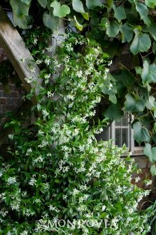 Star Jasmine- TheStrongest and Best Smelling Flower #jasmine #best #smelling #flower
