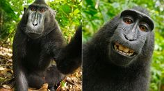 "A photographer owns copyright in the photo the photographer took.  Therefore, shouldn't the monkey who took the photo own copyright in her/his photo?  (Does an elephant own copyright in the elephant art s/he painted?)  - ""Wikimedia Won't Take Down This Photo Because a Monkey Took It"""