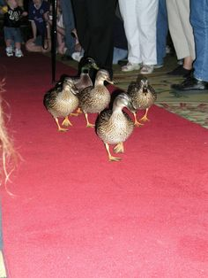 Duck Walk at the Peabody, Memphis Tennessee