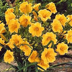 Stella d'Oro Daylily...works great for patio containers and as a border!