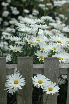 daisies and wooden fence