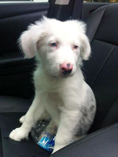 """Australian Shepherd • Baby • Male • Medium Last Hope K9 Rescue Boston, MA -  Quing (aka """"Q"""") is 12 weeks old and weighs 15 lbs. He is deaf but does not let that slow him down. Q is a sweetheart. He has the best personality, ever.. He doesn't like you to go far without him and will pretty much follow you wherever you go. He listens well, as long as you use hand motions. I motion at him to come here (making sure he sees me)..."""