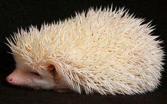 African Pgymy Hedgehog