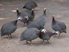 Backyard Farming: Those Bugs are Fowl......Food  Guinea Fowl eat all kinds of garden pest while leaving garden relatively untouched.  They even eat and seek out ticks & stink bugs!