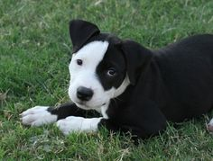 puppies, anim, bull terriers, dog breed, puppy pictures, white, pit bulls, pitbul, black