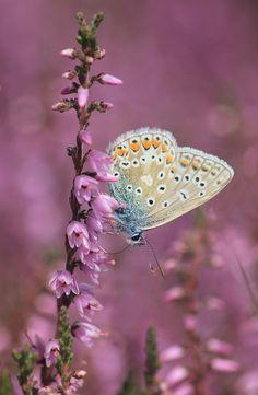 beauti butterfli, nature, butterflies, colors, beauty, paintings, flowers, beauti photo, blues