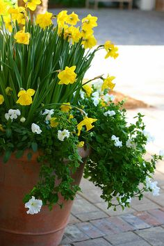 daffodil container...