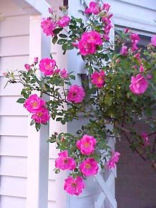 """Climbing roses produce two kinds of shoots: the main structural canes and the flowering shoots, which grow from the canes. The long structural canes must be tied or woven into a support to keep the flowers off the ground. If possible, install the support before planting your roses. Roses require at least 6 hours of sunligh""t during the growing season and fertile, well-drained soil."" from The National Gardening Association site"